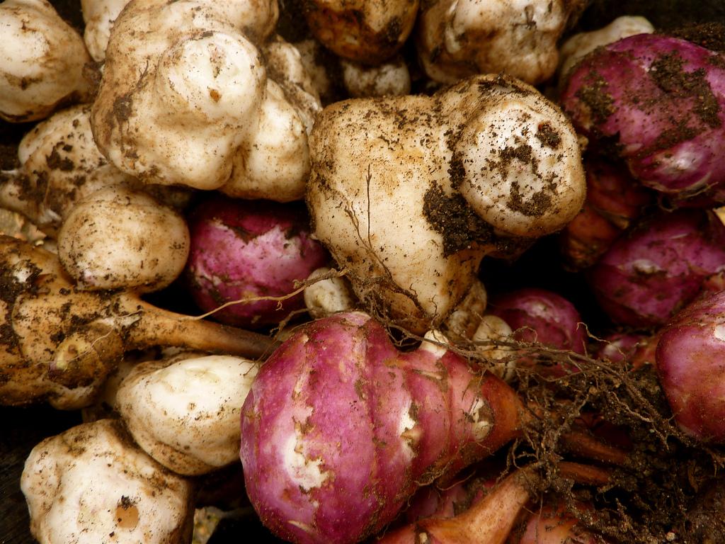 Harvested Jerusalem Artichokes