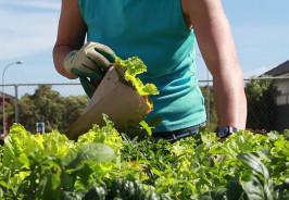 Gardener Collecting Lettuce