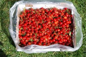 Box of Beautiful Pie Cherries