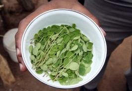 bowl_of_moringa_leaves