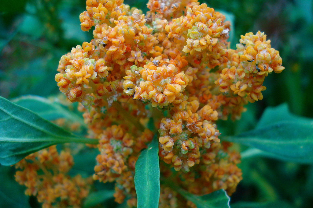 Gorgeous orange flowering Quinoa