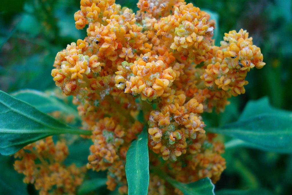 Gorgeous orange flowering Quinoa