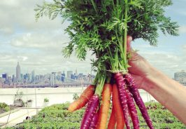 Carrot on the roof of Brooklyn Grange