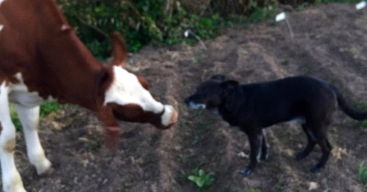 cow and dog stare down